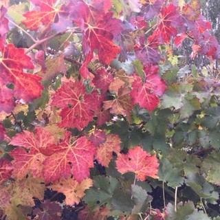 HRCE new photos web site Autumn in the vineyard.jpg